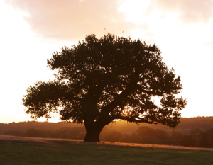 Tree_Oak_Silhoutte