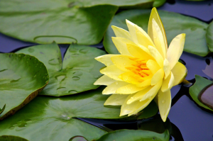 Yellow_Water-lily